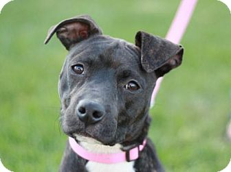 American Pit Bull Terrier/Labrador Retriever Mix Dog for adoption in Danbury, Connecticut - Miyah