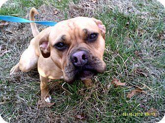 Boxer/Pug Mix Dog for adoption in Dundas, Virginia - Gucci