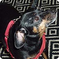 Adopt A Pet :: Pookie - Long Beach, NY