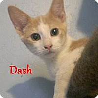 Adopt A Pet :: Dash - Chandler, AZ