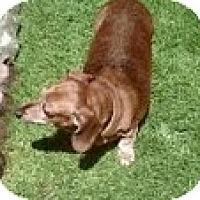 Adopt A Pet :: SHILO - Portland, OR