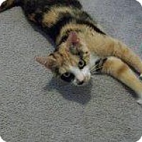 Domestic Shorthair Cat for adoption in Burlington, Ontario - Kalico