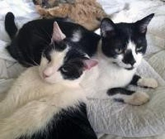 Domestic Shorthair Cat for adoption in Mission Viejo, California - Spotty and Bogey