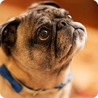 Adopt A Pet :: Mang - Huntingdon Valley, PA