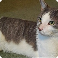 American Shorthair Cat for adoption in Oakland Gardens, New York - Ethan