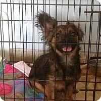 Adopt A Pet :: Miss Pacman - San Antonio, TX