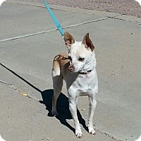 Adopt A Pet :: Apollo - Las Cruces, NM