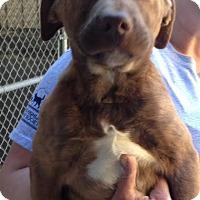 Adopt A Pet :: Poppi - Cashiers, NC
