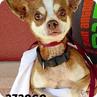 Adopt A Pet :: 373960 Brownie - San Antonio, TX