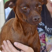 Dachshund Mix Dog for adoption in Midland, Texas - Godiva