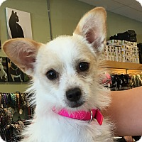 Terrier (Unknown Type, Small)/Chihuahua Mix Dog for adoption in La Quinta, California - Mickie