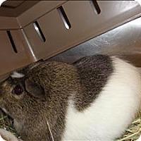 Adopt A Pet :: Steve - Raleigh, NC