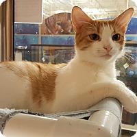 Adopt A Pet :: Mittens - Smithfield, NC
