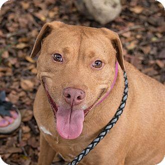 Staffordshire Bull Terrier/Labrador Retriever Mix Dog for adoption in Houston, Texas - Canela