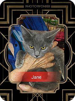 Russian Blue Cat for adoption in San Bernardino, California - Jane