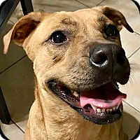 Boxer/American Staffordshire Terrier Mix Dog for adoption in Buda, Texas - Rosie