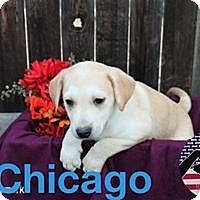 Adopt A Pet :: Chicago - Westminster, CO