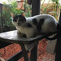 Calico Cat for adoption in Lauderhill, Florida - Lulu