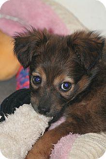 Spaniel (Unknown Type)/Dachshund Mix Puppy for adoption in Lodi, California - Adeline