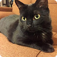 Domestic Shorthair Cat for adoption in Thornhill, Ontario - Gabby
