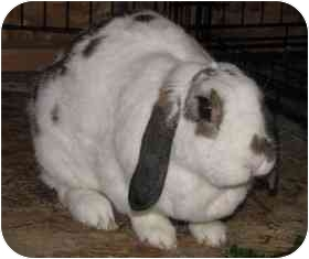 Mini Lop Mix for adoption in Maple Shade, New Jersey - Hocus