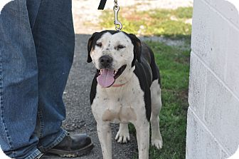 Pit Bull Terrier/Hound (Unknown Type) Mix Dog for adoption in New Manchester, West Virginia - Maggy