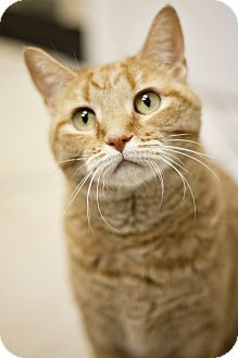 Domestic Shorthair Cat for adoption in Chicago, Illinois - Brinn