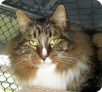 Maine Coon Cat for adoption in Grants Pass, Oregon - Brandon