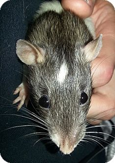 Rat for adoption in Lakewood, Washington - Agouti Front