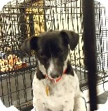 Shih Tzu/Chihuahua Mix Dog for adoption in Las Vegas, Nevada - Kiki