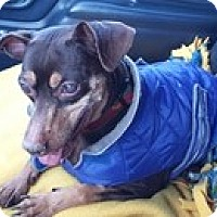 Miniature Pinscher Dog for adoption in Wilmington, Massachusetts - Levi