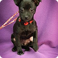 Adopt A Pet :: Priscilla - Broomfield, CO