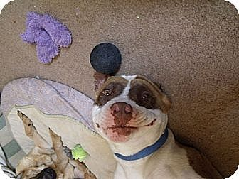 Staffordshire Bull Terrier Dog for adoption in Lucerne Valley, California - Blue
