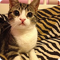 Adopt A Pet :: Katniss - Maywood, NJ