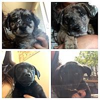 Australian Shepherd/Labrador Retriever Mix Puppy for adoption in Long Beach, California - Aussie/Lab Mix Boys
