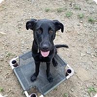 Adopt A Pet :: Comet - Albemarle, NC