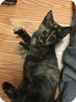 Domestic Shorthair Kitten for adoption in Cheltenham, Pennsylvania - Dot