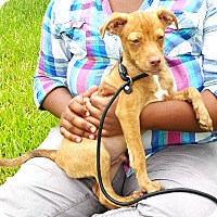 Chihuahua/Terrier (Unknown Type, Small) Mix Puppy for adoption in Houston, Texas - Rusty