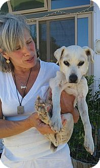 Jack Russell Terrier Mix Dog for adoption in Creston, California - Spreckles