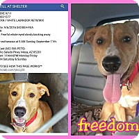 Pit Bull Terrier/Golden Retriever Mix Dog for adoption in Mesa, Arizona - Shadow