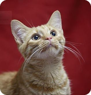 Domestic Shorthair Kitten for adoption in Kettering, Ohio - Cheesy