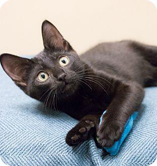 Bombay Kitten for adoption in Chicago, Illinois - Rio