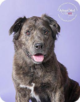 Australian Shepherd Mix Dog for adoption in Apache Junction, Arizona - MEMPHIS