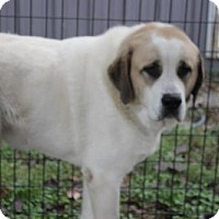 St. Bernard/Great Pyrenees Mix Dog for adoption in Garfield Heights, Ohio - Angus and Ava-COURTESY POST