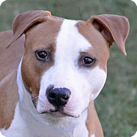American Pit Bull Terrier Dog for adoption in Englewood, Florida - Emmy