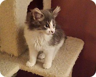 Domestic Longhair Kitten for adoption in Kalamazoo, Michigan - Atwood - Chelsea