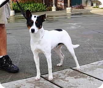Rat Terrier/Cattle Dog Mix Dog for adoption in Lathrop, California - Bandit