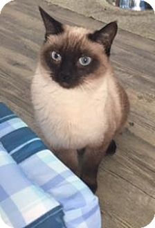 Siamese Cat for adoption in Gulfport, Mississippi - Agatha