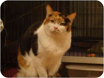 Calico Cat for adoption in Muncie, Indiana - Sadie