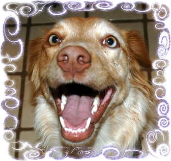 Brittany/Australian Shepherd Mix Dog for adoption in Phoenix, Arizona - Spice